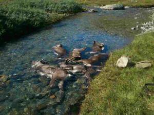 Lagring av dyr i elva pga varmen