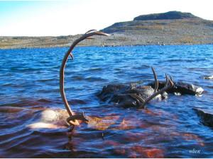Oppbevaring av reinsdyr i Uravatnet